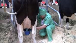 Фото: Чистка вымени коровы перед машинной дойкой