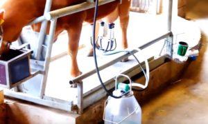 Фото: Доение коров доильным аппаратом