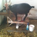 Фото: Процесс доения козы