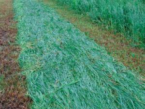 Фото: Скошенная трава косилкой